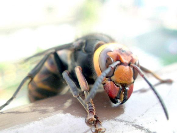 A Giant Hornet With Red Mandibles Very Close To Camera