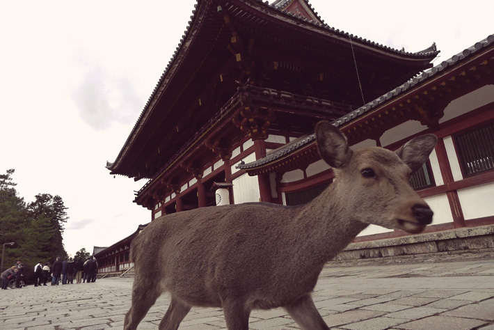 traveling to japan to see nara deer