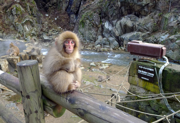snow monkey outside a hot spring