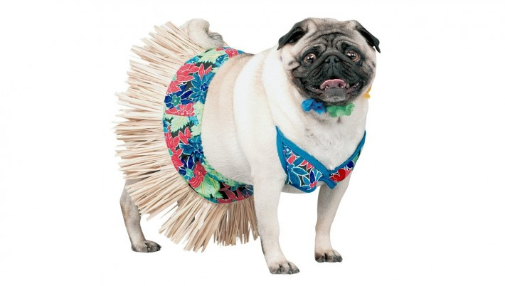 Pug in a bathing suit