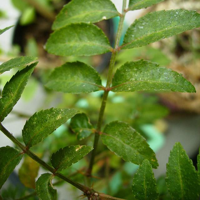 sansho pepper plant