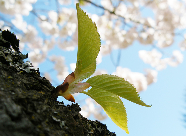 a budding leaf in front of sakura shows the best time to visit japan