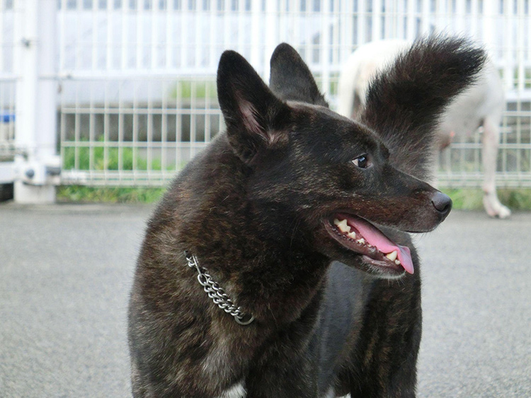 Japanese Dog Breeds And How To Get Them