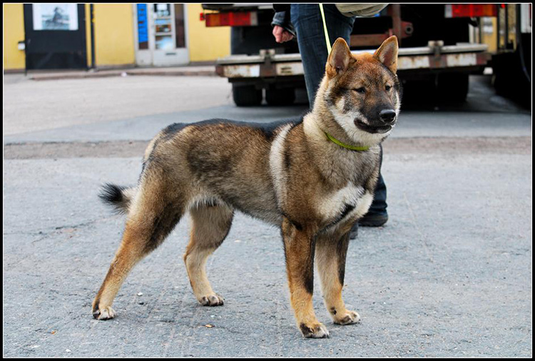 Shikoku-inu standing on all fours