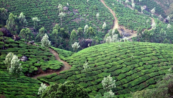 hills where tea is grown