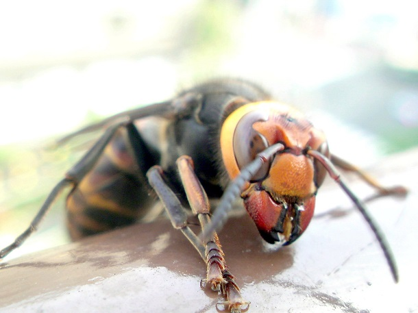 close up face of giant japanese hornet