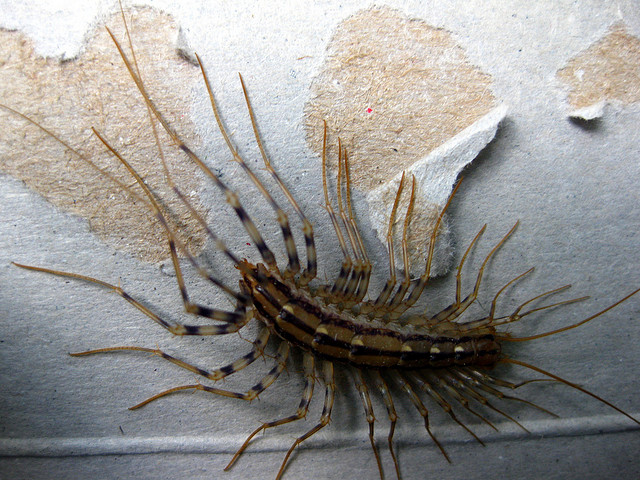 giant house centipede with lots of long legs