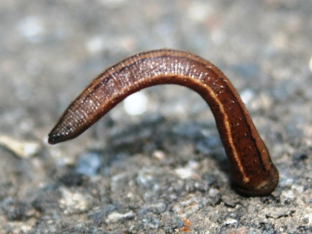 bendy japanese mountain leech stuck to something