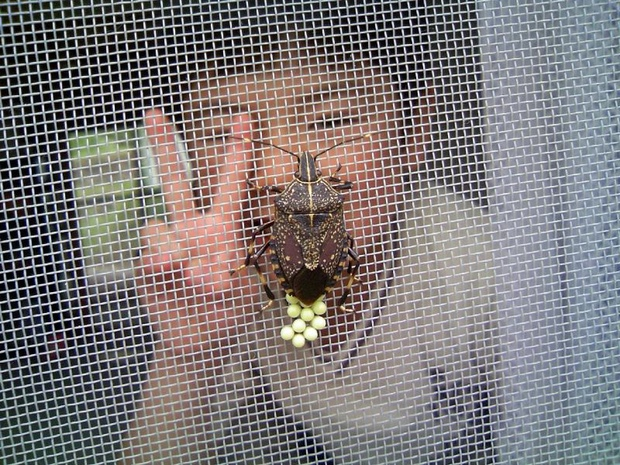 stinkbug with eggs boy giving peace sign