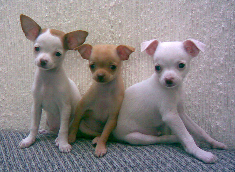 Amazing Chihuahua Chubby Adorable Dog - cute-chihuahuas  Collection_84968  .jpg