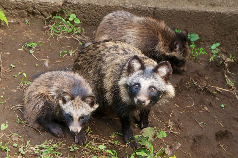 Three Japanese raccoon dogs looking up