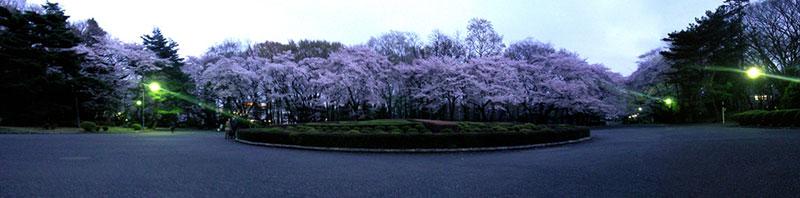 ICU Tokyo cherry blossoms