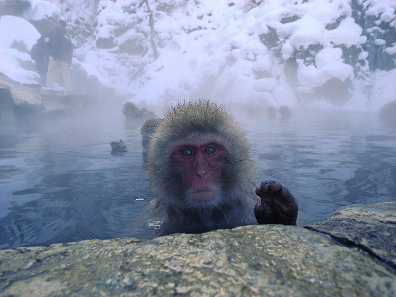 A Japanese snow monkey in Jigokudani