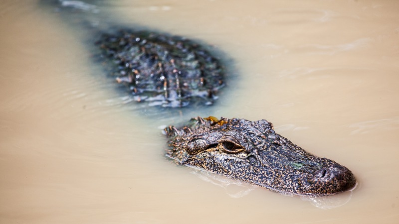 partially submerged alligator