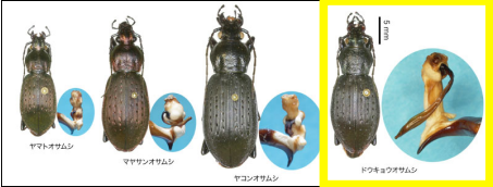 pictures of dokyo beetle