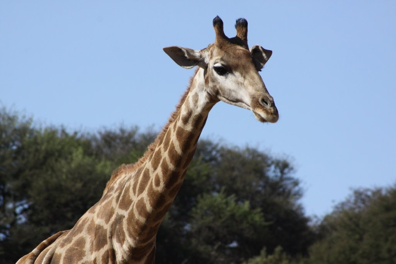 head and neck of a giraffe