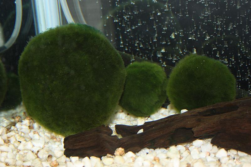 Marimo: The Pet Algae With A Suggestive Mascot