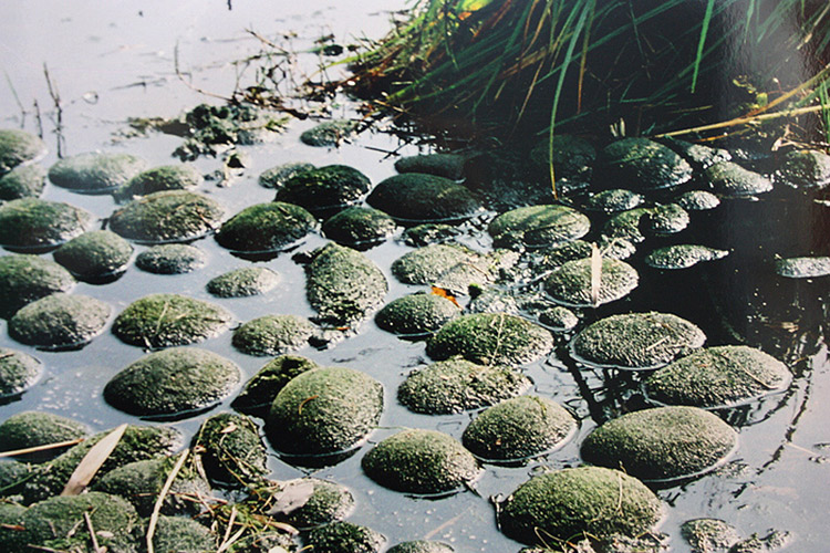 algae balls in a lake