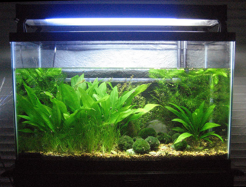 aquarium tank holding japanese algae balls