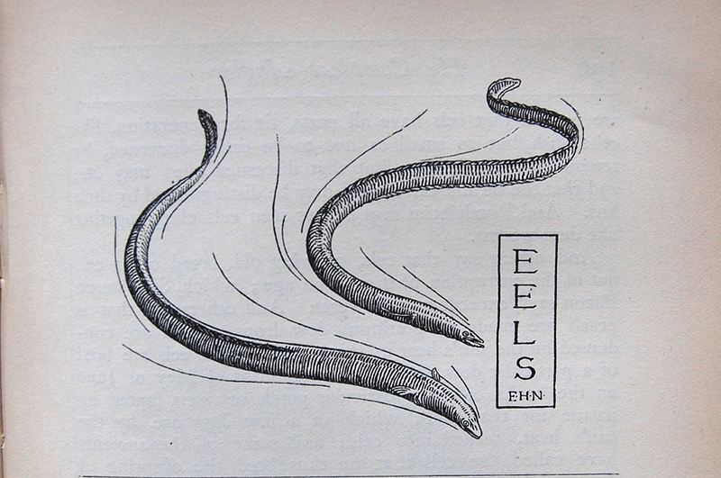 eel illustration