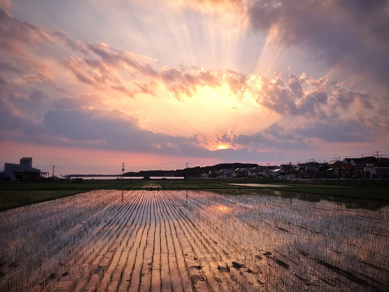 The sun setting yellow and purple over a rice paddy