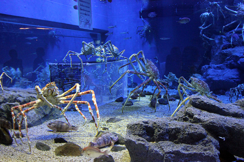 Giant crabs in an aquarium exhibit with rocks and cages