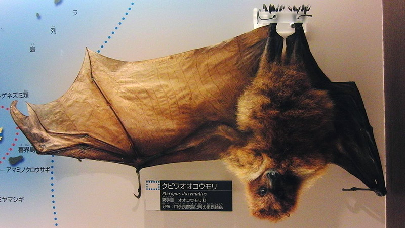 Stuffed bat in a museum, hanging upsidedown with a wing open