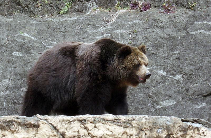 Large brown bear in a zoo