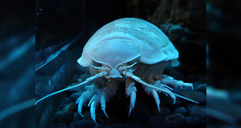 Giant isopod underwater
