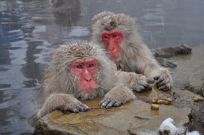Japanese snow monkeys with brown bodies and red faces