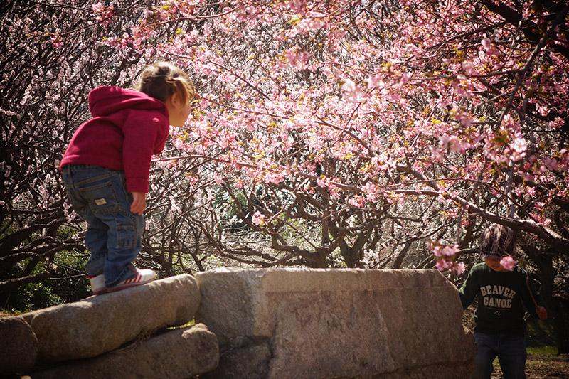 children stone wall and cherry blossoms