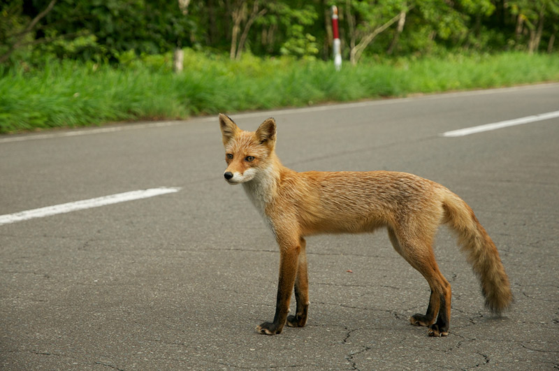 skinny fox standing at the edge of a paved road
