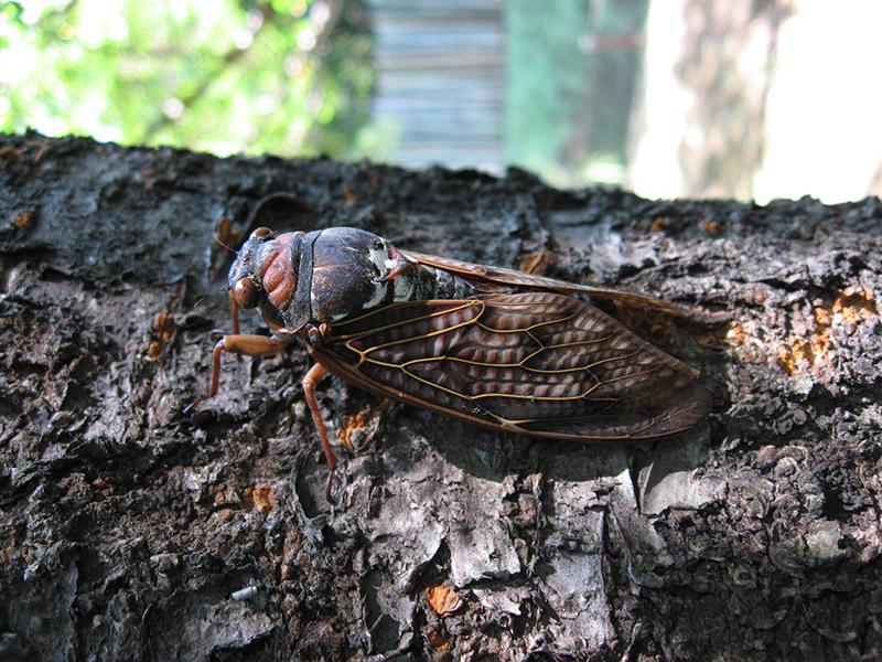 abura zemi cicada