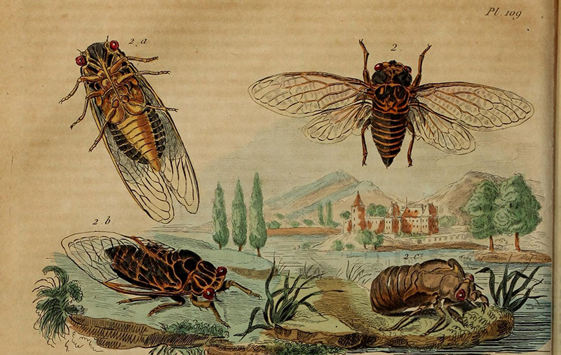 illustration of the cicada