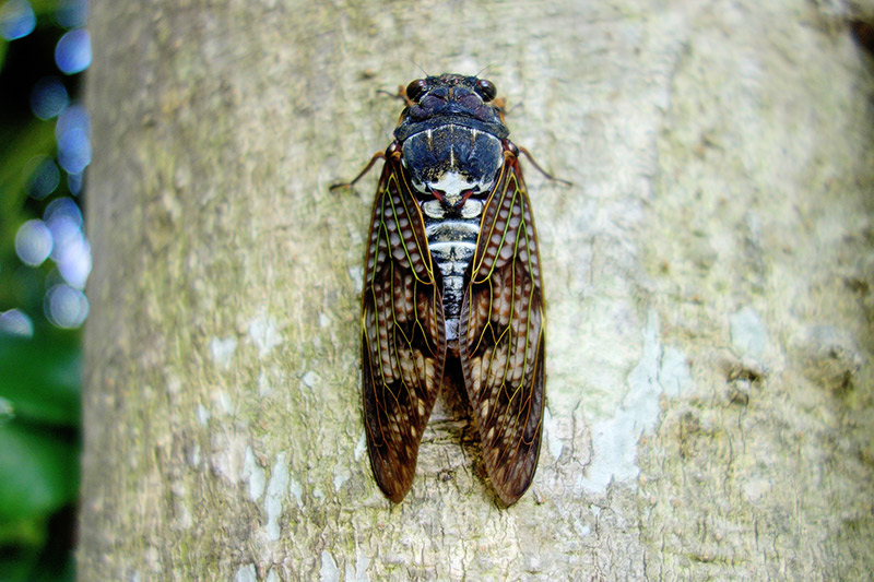 closeup of a cicada on a tree