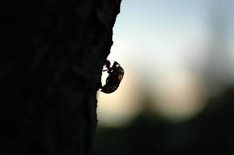 silhouette of a cicada shell clinging to a tree