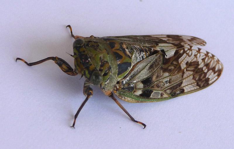 niiniizemi cicada