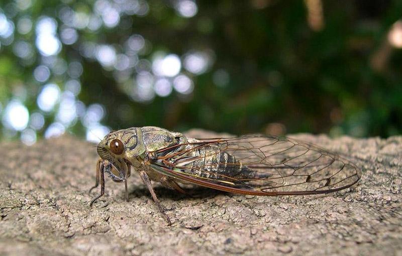 tsukutsukuboushi cicada