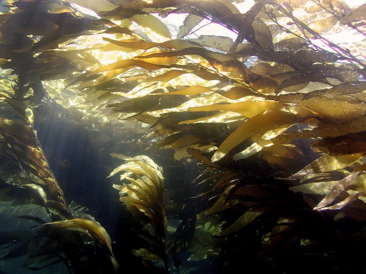 kelp in the sunlight japan