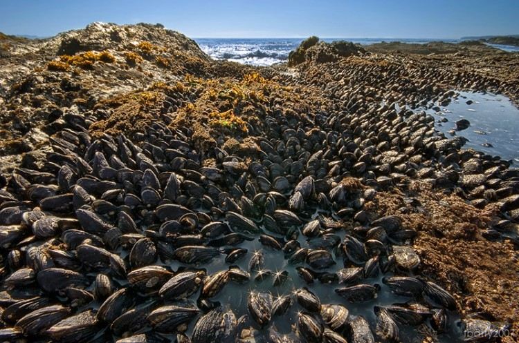 seashore covered in invasive mussels japan to california