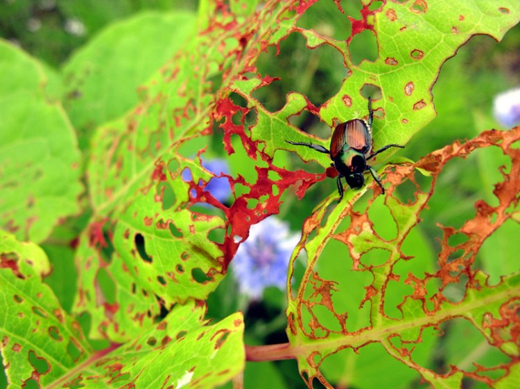 japanese beetle and extensive damage to a tree