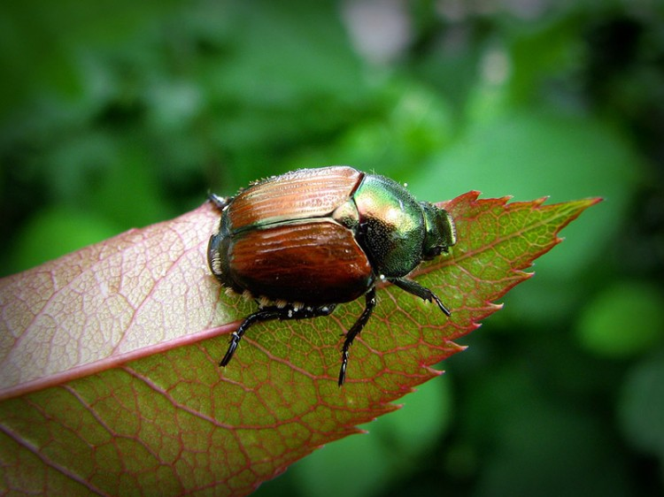 japanese beetle on a leaf close up in focus