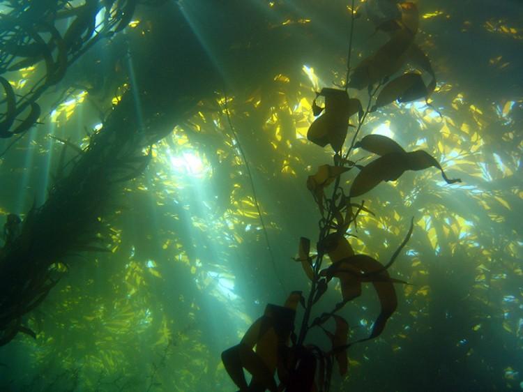 kelp forest invasive underwater seaweed shot