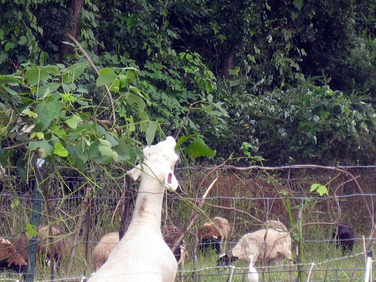 goats eating invasive kudzu