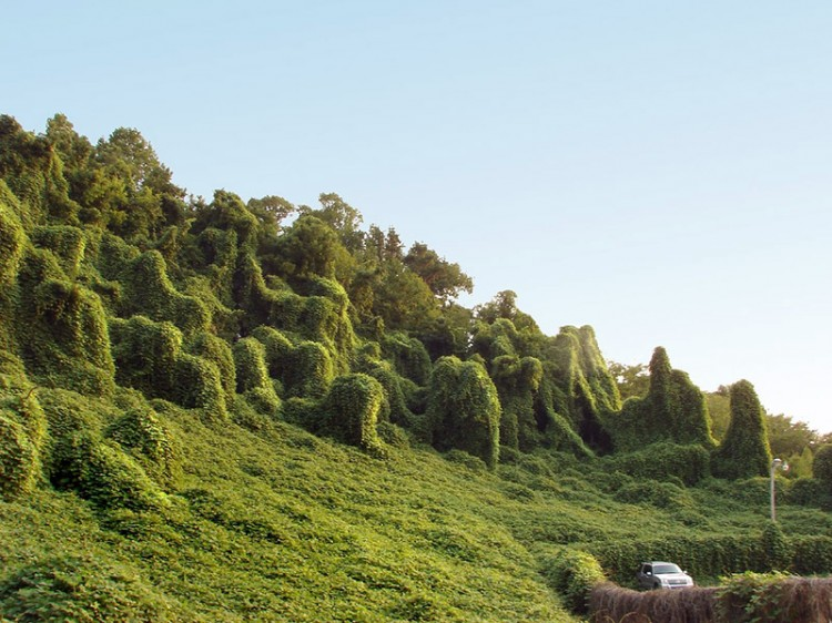 kudzu taking over the side of a hill encroaching on car