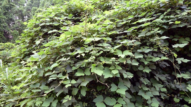 overgrowth of kudzu on kudzu invasive