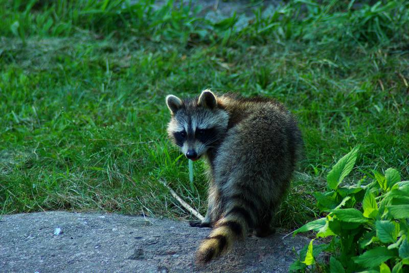 Raccoon on the ground
