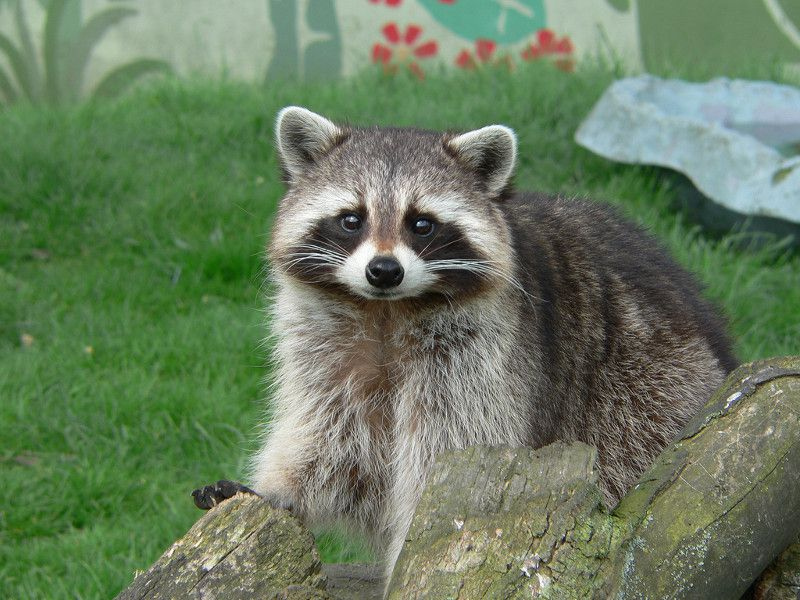 Raccoon looking at the camera from behind a stump