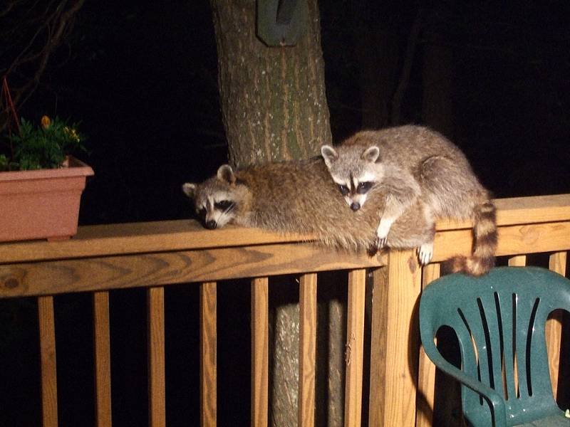Two raccoons on a deck