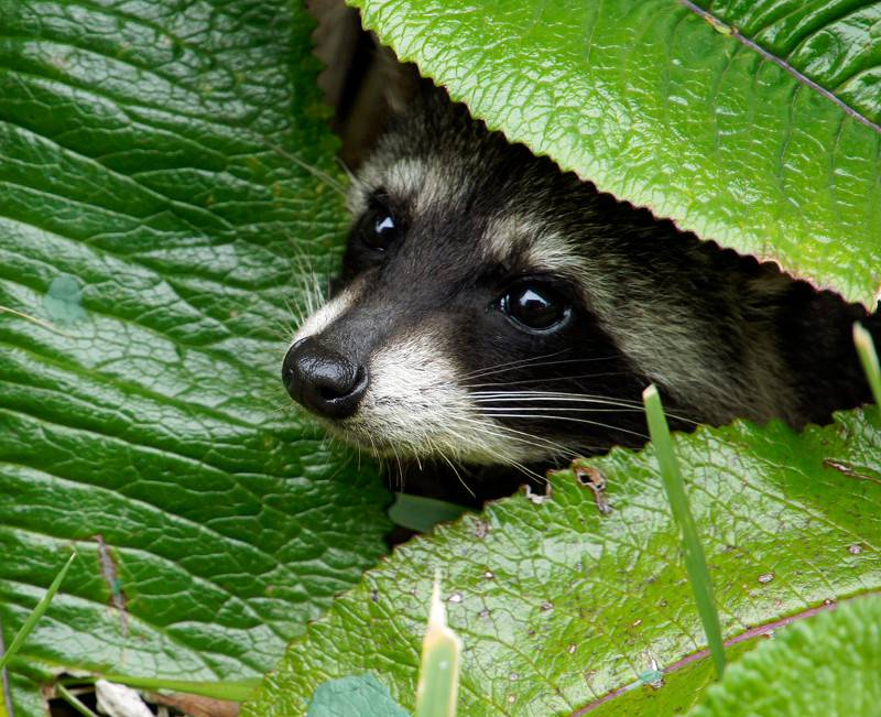 Raccoon peeking out between some leaves